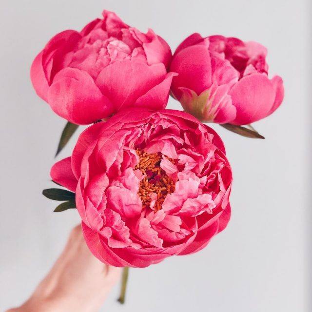 When my neighborhood grocery store randomly has peonies in thehellip